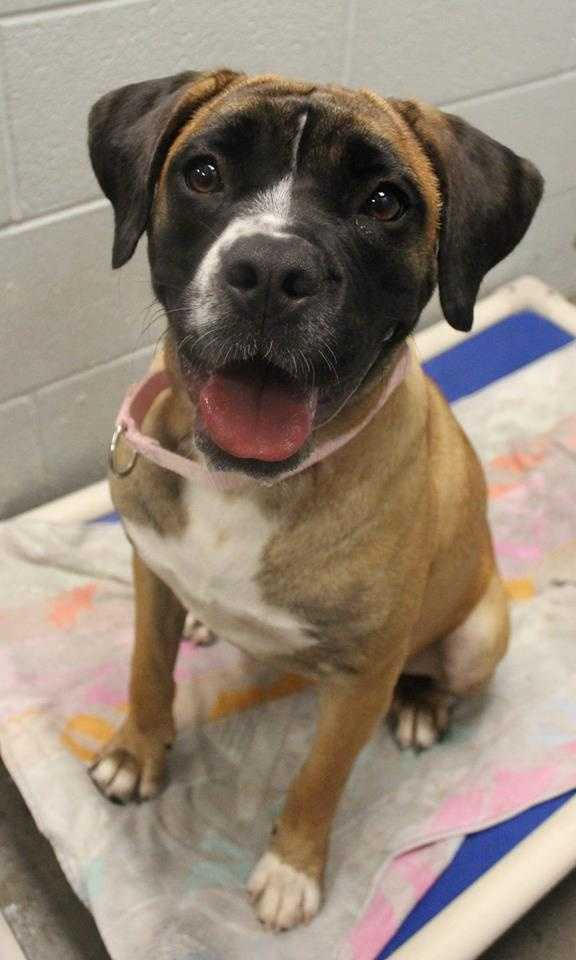 My name is Maggie! I am a 1-year-old female Boxer mix. I am a big, wiggly & loving girl from South Carolina. I would be so grateful to go to a home where I can get lots of cuddles, exercise, and training. I get along well with most other dogs, but might be too much for small dogs. I'm not sure how I feel about cats. I will do well with dog-savvy kids ages 5+. For more information, please call, visit, or email the shelter. Buddy Dog Humane Society, Inc. Sudbury, MA (978) 443-6990 or info@buddydoghs.com