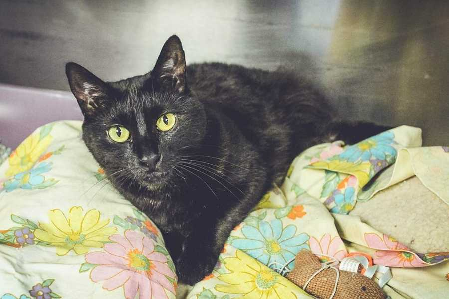 """My name is Missy! I am a 3-year-old female DSH. I am an indoor kitty. I'm not sure how I feel about other cats or dogs. I will do well with kids ages teens+. I like to play with lasers and scratch on rope scratching posts. I like to be patted and sleep on my humans bed. Once we become buddies, I'll greet you when you come home with a """"meow"""". For more information about me, please call, visit, or email the shelter. Buddy Dog Humane Society, Inc. Sudbury, MA (978) 443-6990 or info@buddydoghs.com"""