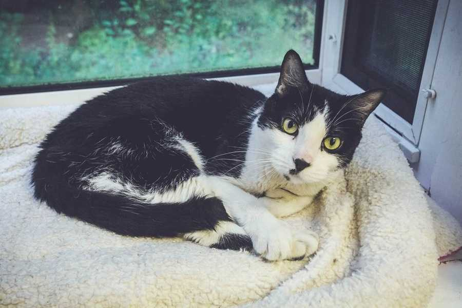 My name is Oreo! I am a 6-year-old male DSH. I am very sweet. I lived with an older person who became ill and could no longer care for me. I then went to another family who made me live in the basement. I am a nice cat and I am desperately looking for a family who will give me real, loving home. I will do well with kids ages 5+. For more information about me, please call, visit, or email the shelter. Buddy Dog Humane Society, Inc. Sudbury, MA (978) 443-6990 or info@buddydoghs.com