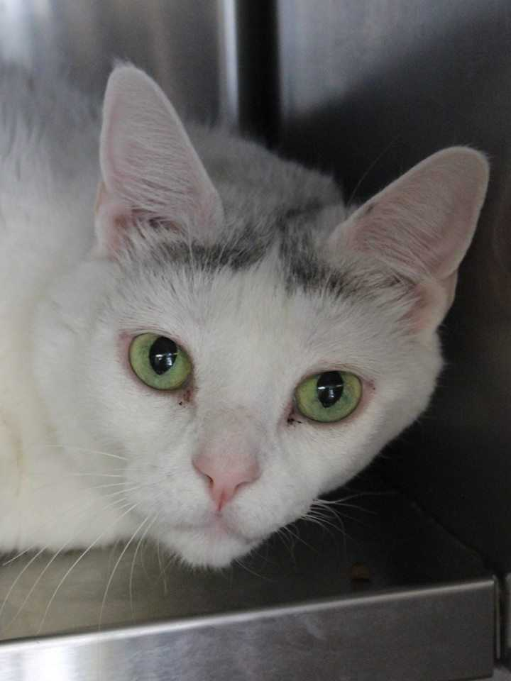 My name is Rosie! I am a 9-year-old female DSH. I am a litterbox-trained indoor only cat. I have lived kids ages 10+ and did well with them. I seem to be okay with other cats, but I would like a dog-free home. I like to be patted and sleep on cushy furniture! For more information about me, please call, visit, or email the shelter. Buddy Dog Humane Society, Inc. Sudbury, MA (978) 443-6990 or info@buddydoghs.com