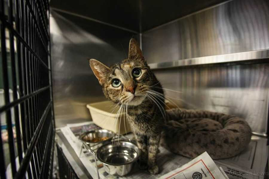 My name is Shusha! I am a 7-year-old female DSH. I get along well with dogs of all sizes. I would like to be the only cat in my new home (I don't like to share my humans or food with other felines!) When kids are around, I usually hide, so I would prefer a home without them so I can go about my business as I please. I am gentle and loving. I love to be patted and cuddled. For more information about me, please call, visit, or email the shelter. Buddy Dog Humane Society, Inc. Sudbury, MA (978) 443-6990 or info@buddydoghs.com