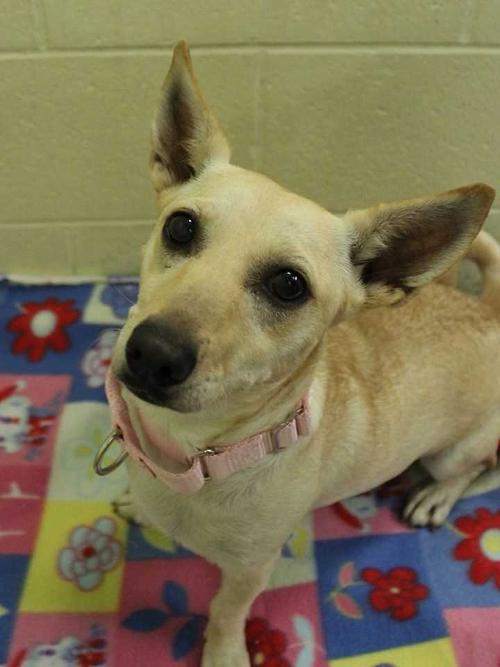 My name is Smiley! I am a 1-year-old Corgi mix. I get along well with cats and other dogs. I'm almost housebroken, too! I have lots of puppyish energy and would be so grateful to be part of an active home. I will get along well with kids ages 10+. For more information, please call, visit, or email the shelter. Buddy Dog Humane Society, Inc. Sudbury, MA (978) 443-6990 or info@buddydoghs.com