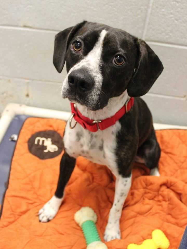 My name is Tucker! I am a 1-year-old male Beagle and Boston Terrier mix. I am crate-trained but will need to learn how to be housetrained in my new home. I love to swim, fetch, and chew on tennis balls & sticks. I will do best in a home with kids ages 16+. I can be choosy about which other dogs I like to spend time with. I don't know how I feel about cats. I am an dynamic and outgoing dog who loves to exercise. For more information, please call, visit, or email the shelter. Buddy Dog Humane Society, Inc. Sudbury, MA (978) 443-6990 or info@buddydoghs.com