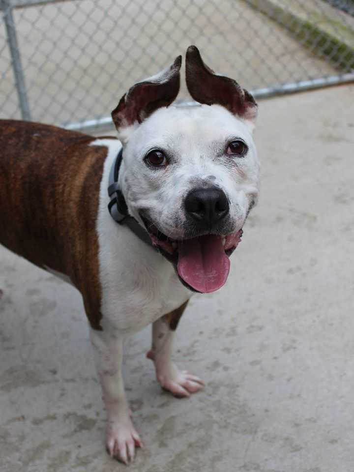 """My name is Tuukka! I am a 2-year-old male Terrier mix. I am housebroken....I behave well in the house, but I prefer not to be crated. I get along well with kids ages 5+. My favorite activity is doing """"zoomies"""" in the playpens at Buddy Dog! I also love to go for walks, play catch, and playing with stuffed toys! I also love the water...if you're looking for a beach buddy, I'm your guy! I get along with some other dogs, but would like to be the center of your doggie world at home. My new home should be cat-free. For more information about me, please call, visit, or email the shelter. Buddy Dog Humane Society, Inc. Sudbury, MA (978) 443-6990 or info@buddydoghs.com"""