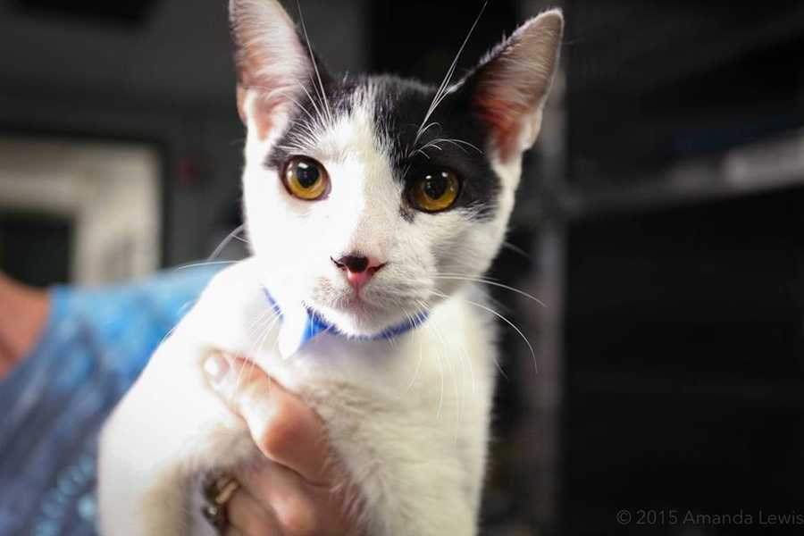 My name is William! I am a 6-month-old male DSH. I was found as a stray by a very nice lady who rescued me. She had enough cats of her own, so she helped me get to Buddy Dog so I could find my forever home. I am a very sweet little guy. I am fun and full of exuberance. I will do well with kids ages 10+. I get along well with other cats, but I'm not sure how I feel about dogs. For more information about me, please call, visit, or email the shelter. Buddy Dog Humane Society, Inc. Sudbury, MA (978) 443-6990 or info@buddydoghs.com
