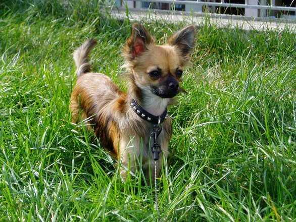 Chihuahua -- Katie
