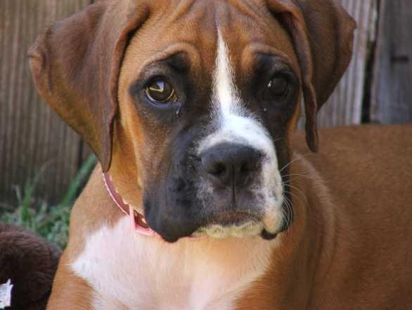 Boxer -- Hazel
