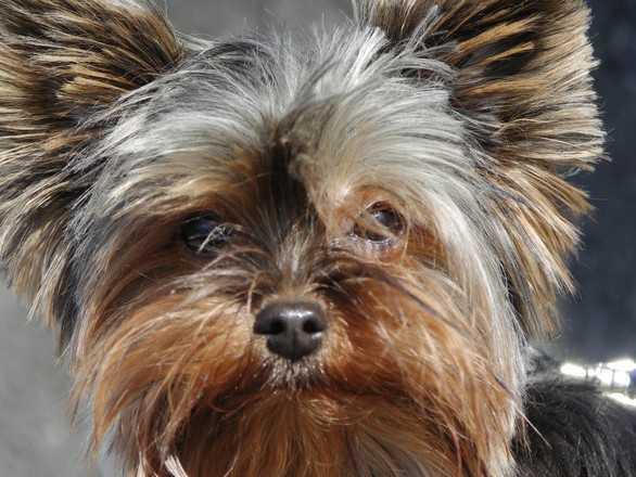 Yorkshire Terrier -- Chloe