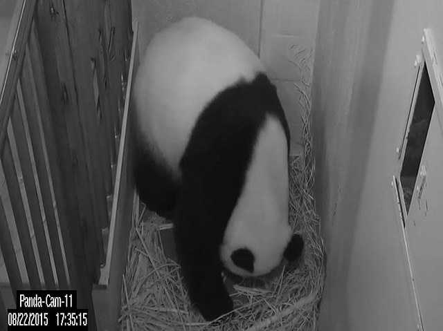 Giant panda Mei Xiang gave birth to a cub at the Smithsonian's National Zoo Saturday, Aug. 22. The panda team witnessed the birth at 5:35 pm.Mei Xiang reacted to the cub by picking it up.