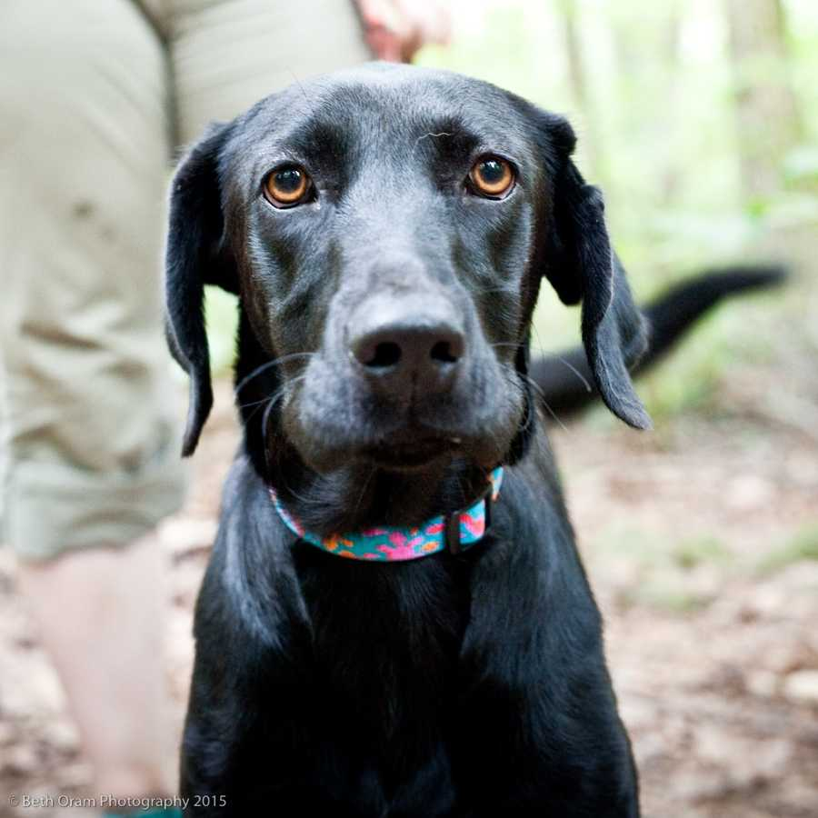 Willa is a sweet energetic young girl. She is going to benefit from training, but seems eager to learn. Willa would make a great family dog. She keeps her crate clean. She also does well with all the dogs she has met. Come meet this sweetheart today! MORE