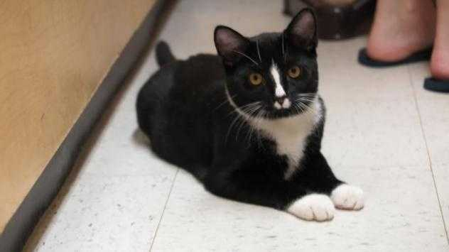 Gizmo is a 9 month old male DSH tuxedo cat. He is a very playful boy! He is quite friendly and loves attention. He would make an excellent family member. Gizmo is currently at the Petsmart adoption center in Brockton. You really should meet this cool guy. More