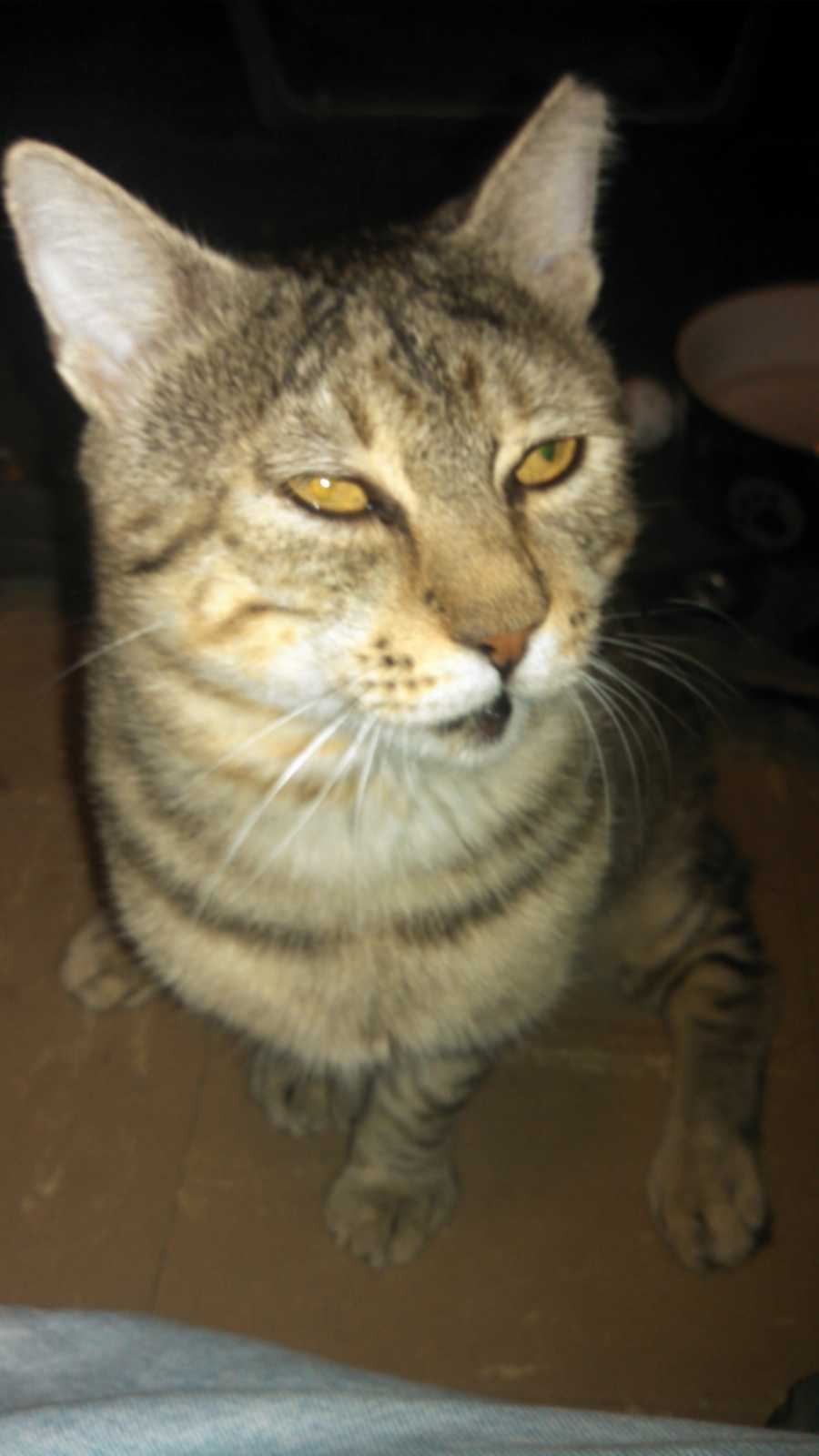 My name is Louie. I am a very friendly, playful 4 year old tan tabby. I have hip displaysia so I should be in a home without young children. I do not like other cats so would like to be the only pet in the house. Please give me a good home! More