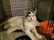 My name is Snow. I am a one year old DMH white and grey male. I am very friendly and love attention. I get along well with people and other cats. More