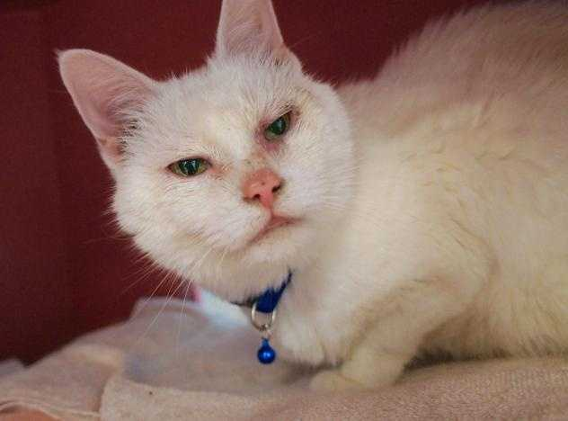 Hi there, my name is Aphrodite, and I am the sweetest thing ever! You might not realize it right away, but I am blind - I was born that way. But that won't stop me from being a wonderful companion - I'm very sweet and easy to love. I came to the MSPCA because my previous owner was moving to a no pet apartment. I am also declawed, and I need to live in a safe and stable home, and perhaps a quieter home as well. MORE