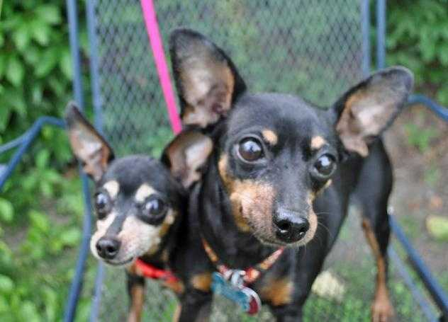Hello! We are Belle and Nala, a bonded pair of Min Pins! Nala, a 10year old, 4lbs spayed female has the elegant frosted mask, and Belle, an 11 year old, 9lbs spayed female, is a little larger and has the gorgeous big ears. We both have soulful dark eyes! We are completely devoted to each other and are looking for a new home together. MORE