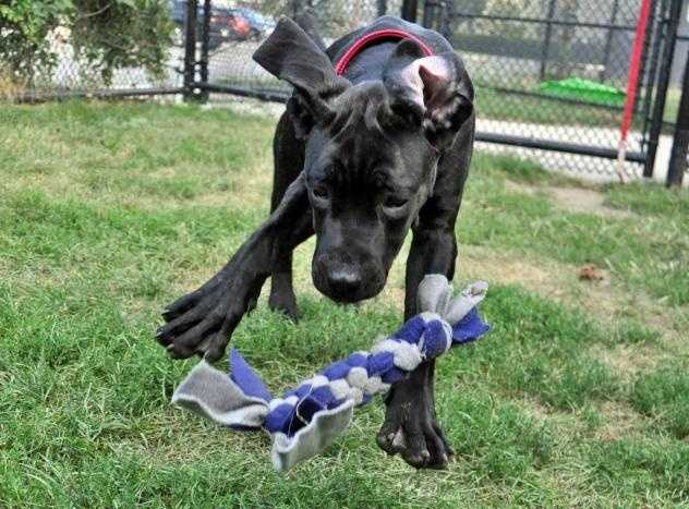 Hi! I'm Bentley! I'm a 5 month old Cane Corso puppy and I'm very sweet but I'm looking for an experienced person to help me become a well socialized, polite adult dog! MORE