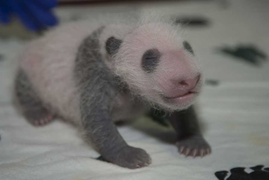 The cub also has much more distinct black-and-white markings. Zoo officials say the markings on his back closely resemble those of his father, Tian Tian.