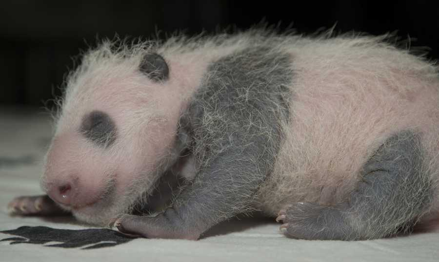 The zoo says the cub weighed in at 1.9 pounds on Monday. That's nearly eight times what he weighed at birth on Aug. 22.