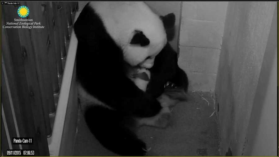The cub was visible on the panda cams and sleeping for much of the day, which is normal for a cub his age. Keepers noticed that he sleeps with his paw over his eyes, which is a position Tian Tian and Bao Bao frequently sleep in as well. Mei Xiang left the den four times for varying lengths of time: around 8 a.m. for five minutes, around 10 a.m. for 10 minutes, around 11 a.m. for five minutes, and around 4 p.m. for seven minutes. She also ate a pear for the first time since giving birth. Pears are one of her favorite food items.