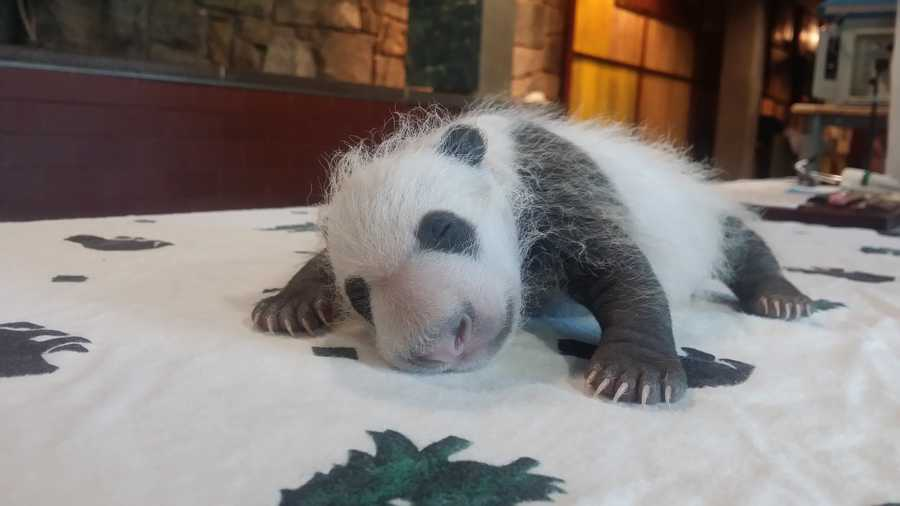 The 4-week-old giant panda cub at the Smithsonian's National Zoo now weighs nearly 2 pounds and is starting to look like a panda.