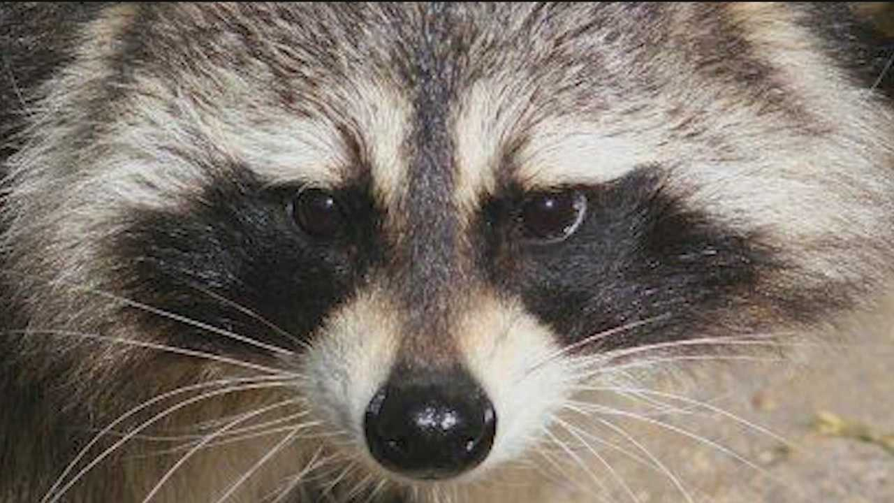 aggressive raccoon tries to attack man