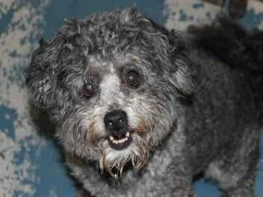 Teddy is an adorable gray poodle mix! He weighs 17lbs. Teddy loves to go for rides in the car. Although he's 8 years old, that's only middle age for a poodle so Teddy still has quite a bit of pep in his step and loves to get his exercise. He is clever and can open slider doors. Poodles are a very clever breed, and Teddy is very food motivated, so there is no limit to what you might be able to teach him! MORE