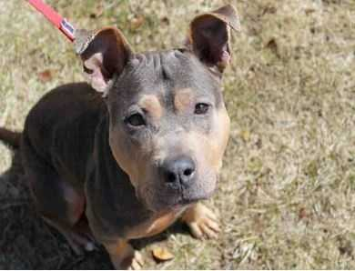 Trina is a super gorgeous, very outgoing blue and tan pittie! She LOVES people and she loves doing things with her people. Whatever the activity of the day is, Trina is happy to be a part of it. She enjoys playing, learning, walking, hiking, and whatever else might be on the schedule for the day. She is an active girl, so she will need a home where she will get plenty of exercise. When it is relaxation time, Trina's favorite position is right next to you with her head on your lap. She loves to be around her family. MORE