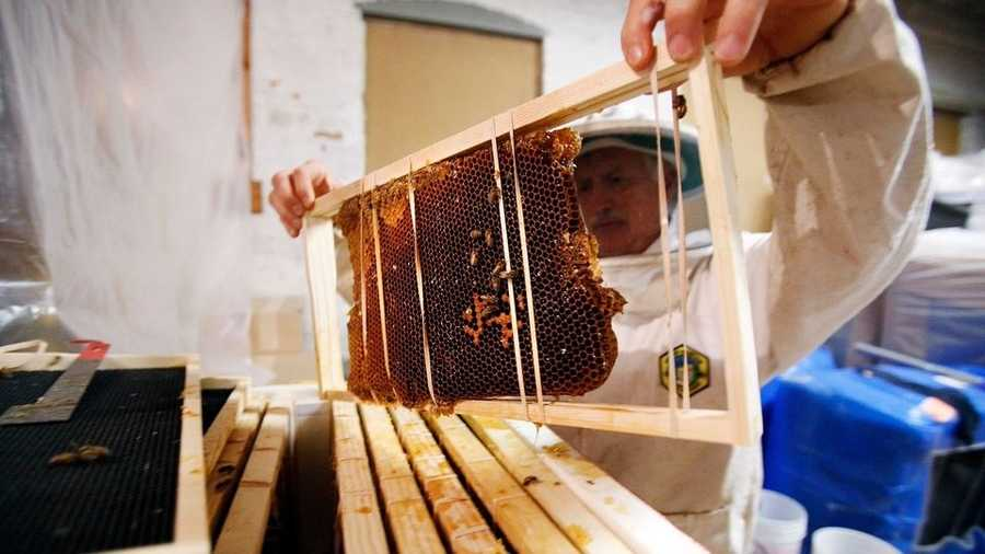 Richard Clapper lifts bees out of their new home in a manmade beehive after  being removed