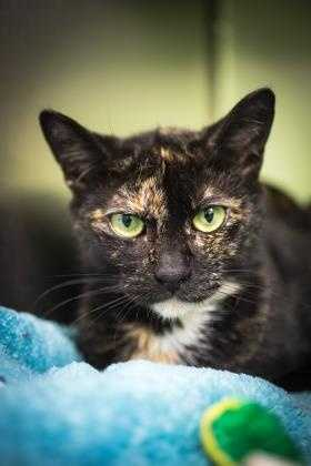 Meet India! This gorgeous torti is waiting to find her home. She needs a patient family who will give her time to adjust. Once she adjusts, she enjoys hanging out with her people and being pet. She needs an adult only home. Come meet her today! More