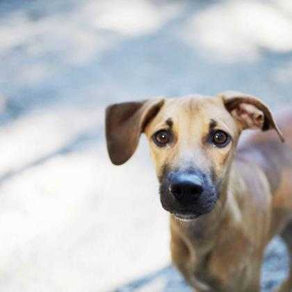 Oglisha is a young pup who likes to give kisses and play. She has the most beautiful, big brown eyes. She and her brother, Mr. Fats, love to romp around together. She's on the shy side so will do best in a quiet home with adults or teens and will benefit from puppy training. More