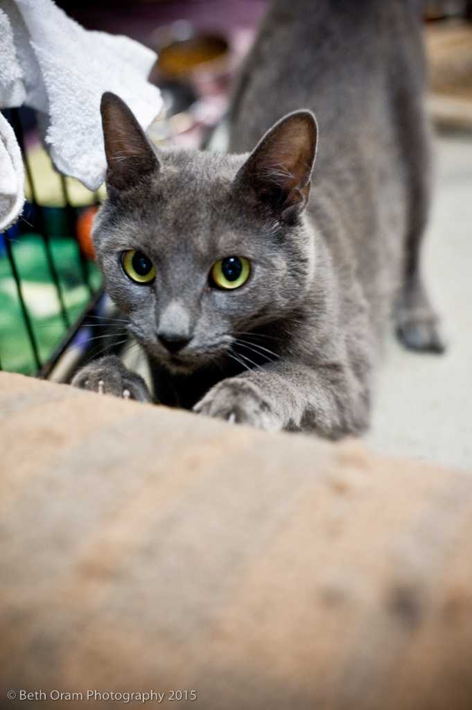 Ophelia is an active young cat who is on the feisty side. She doesn't seem to be that fond of other cats&#x3B; however, she is new to the shelter and we are still learning about her. Please come meet her today! More