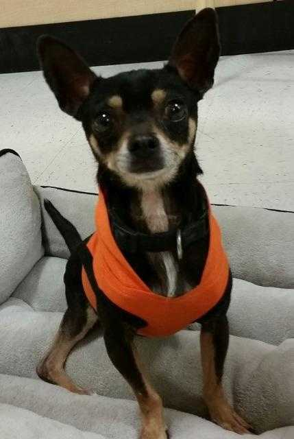 Pippin is a 5.5 year old Chihuahua. He is a sweet and playful pint size pup with an independent spirit. He likes dogs his own size or a little bigger and does well with cats. MORE
