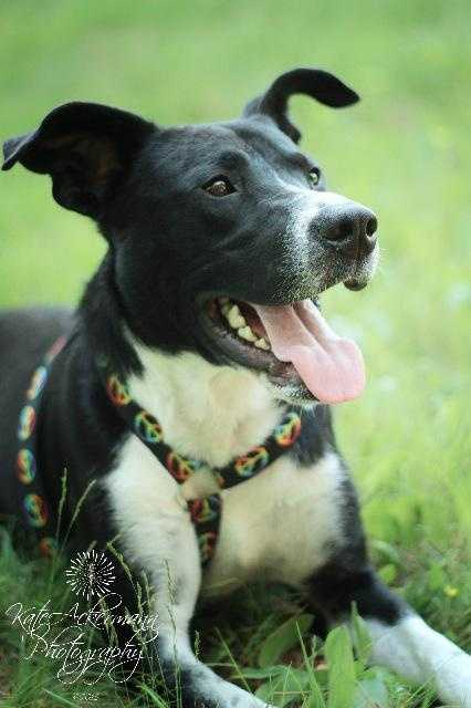 Thomas is a 13 month old Border collie mix. He spent the majority of his life in a high kill shelter, he is learning how to live life on the outside and is doing very well. He would love a home that would guide him and love him unconditionally MORE