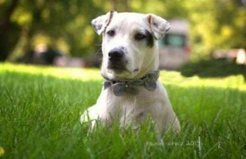 Baby Appelli is a 6-8 month old Labrador American Bulldog mix. She is a typical puppy who loves to play and have fun. She is a total love bug, and would me a great companion. MORE
