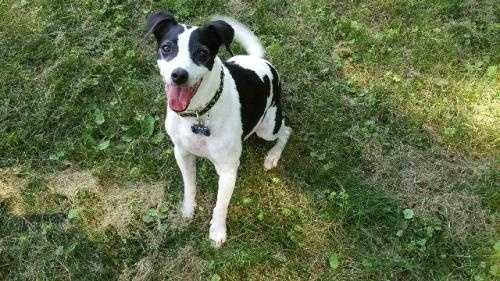 Buddy is a 5 year old Jack Russel Terrier mix. He likes an active life style of walking in the park, going on hikes and especially playing ball. He can be a little nervous at times so a home with older children would be best. MORE