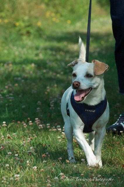 Chico is a 2 year old Chihuahua mix. He is a little shy at first but warms up quickly. He enjoys running in the yard with his foster brother and snuggling on the coach. MORE