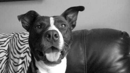 Marvin 4 year old Pit Bull Terrier mix. This extremely affectionate and lovable guy has been in foster care since 2012. He would love a home of his own so he can show them how amazing he is. MORE
