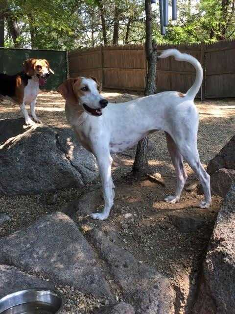 Missy is a 4 year old Pointer-Hound mix. She loves to play and would do great in a home with a canine sibling of similar energy. She is sensitive, sweet and loves to snuggle. MORE