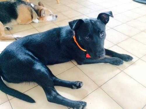 Nova is a 6 month old Black Lab Mix. He really enjoys the company of other dogs and would love a home with a canine sibling. He also loves kids, enjoys walks, rides in the car and just being with people. PAWS