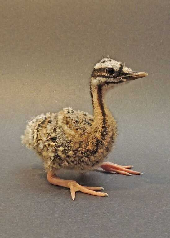 A sunbittern chick hatched at the Franklin Park Zoo.The chick, hatched on September 19, is the first successful hatch and rearing at the zoo since 1995.
