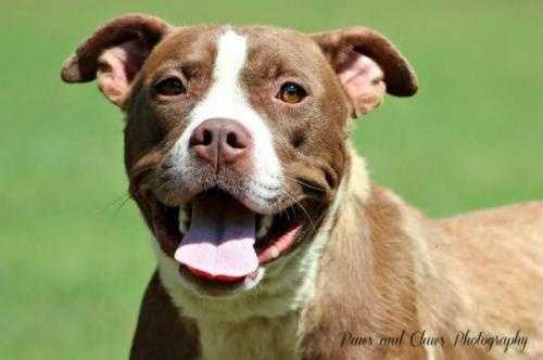 Manda is a 3 year old Pit Bull Terrier mix. Her motto is play hard and sleep hard. She is currently in agility classes and would love a home that would continue her training. MORE