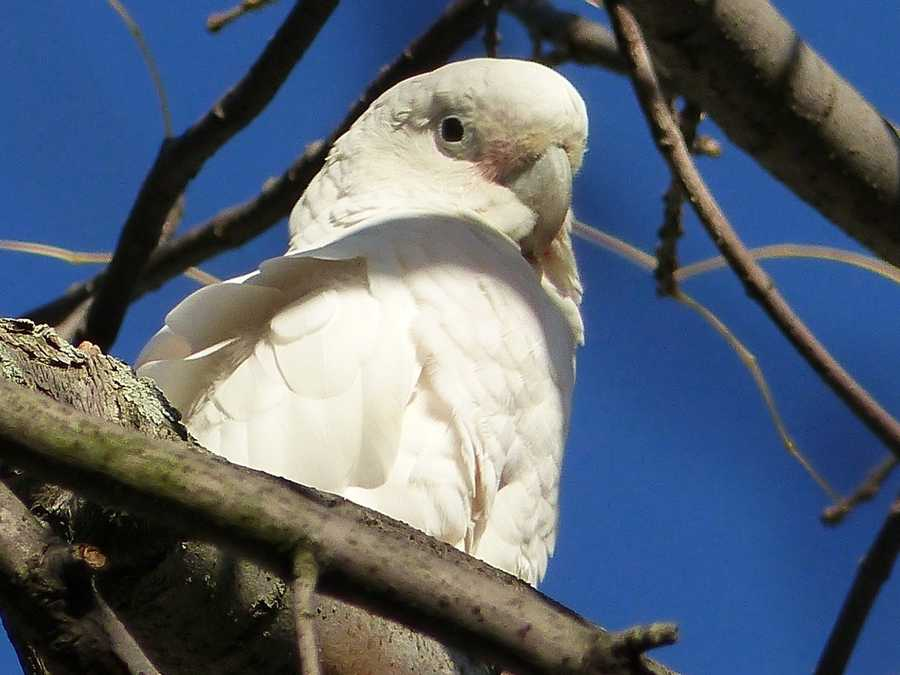 A cockatoo that flew away from its owner earlier this summer has the screech of a dinosaur, and it's annoying residents in a Boston suburb.