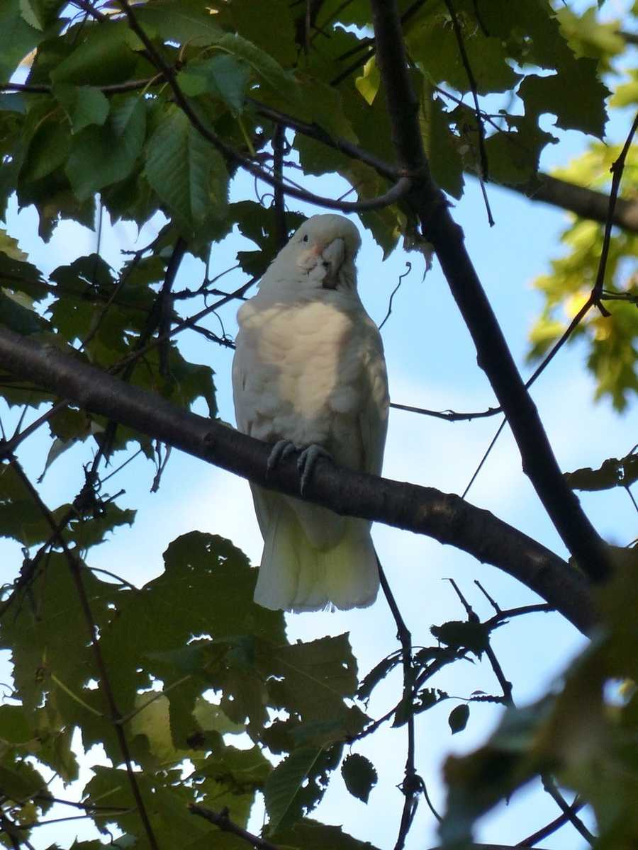 The white bird, named Dino because of his annoying call, flew away from his owner in July and into the trees of Brookline.