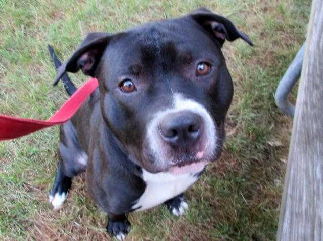 Hi there. My name is Travolta. I am a very handsome young neutered pit bull mix with beautiful brown eyes and tuxedo markings. I'm young and active, and am seeking a home where you and I can do all sorts of fun stuff, like play fetch, go for long walks, swim, anything you can think of! Oh, and after we are all tired out, we can snuggle on the couch and watch a ball game. More