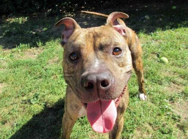Hello, I'm Zack! I am a super sweet 2-year-old, Pit Bull mix. I'm a lively, curious guy, very energetic-and the perfect size, just under 50lbs. I was found roaming around the streets of Boston and unfortunately my family didn't come looking for me so here I am. I love to play and would probably make a good jogging partner for you!  More