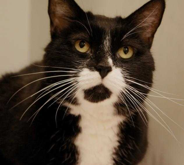 Hi, My name is Goober, and I am a real sweetie! I am a friendly, easygoing girl, who just loves to be pet, and I give great head butts! I will keep you company while you watch TV or read...I love relaxing with my peeps. I will be a wonderful companion to the lucky person or family who brings me home! More