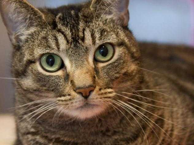 Hi there, my name is Irene, and I am a big-eyed brown beauty! I came to the MSPCA because my owner passed away. I'm a mellow sweetheart who loves to be pet, but I am also independent enough to keep myself company. I may do best in a quieter home or with children that have patience. I'd make a wonderful addition to a loving family. More