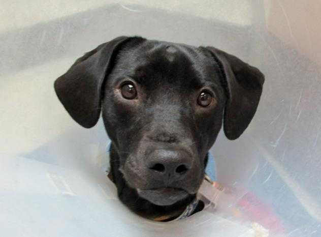 Hey there I'm Jax a lovable young pup. I have a broken pelvis and am on cage rest. Please contact the Adoption Center if you would like more information on my recovery process and adoption! More