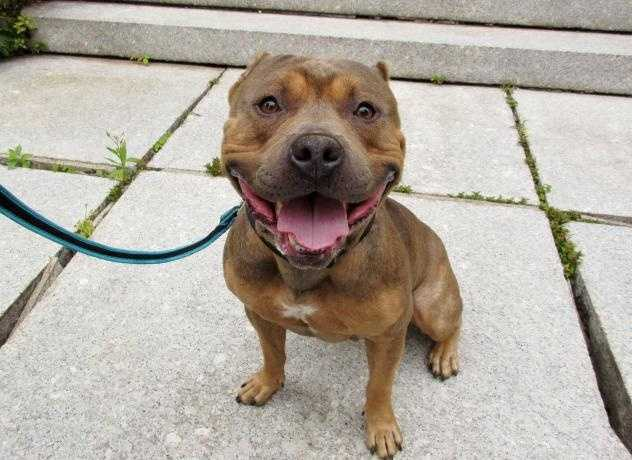 Hi! My name is Teller - I am a handsome 3 year old male Pit Bull and a big love bug. I came into the adoption center because my family moved somewhere dogs weren't allowed. I love hanging out with people and getting pets and attention from them. I'm very friendly and would do well in a home with kids. More