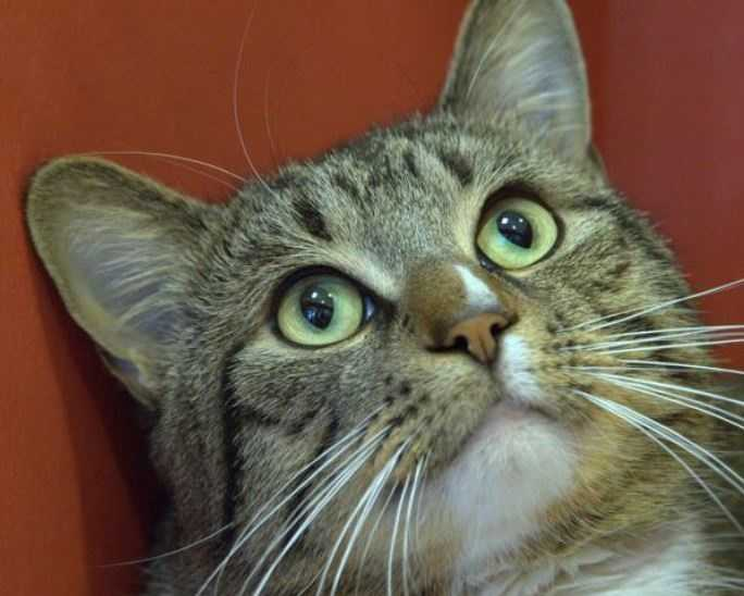 1-year-old male Chester is awaiting adoption at the MSPCA-Angell in Boston. MORE